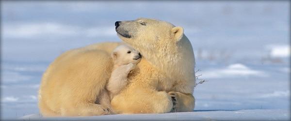 polar bears keeping warm