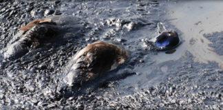 tar sands bird deaths