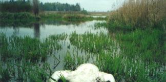 Dead swan in water