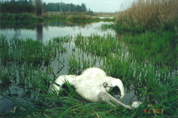 Duck hunting in B.C. inadvertently killing swans