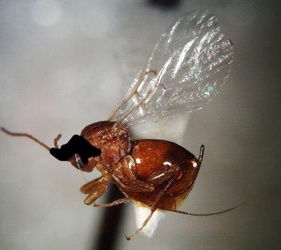 Elvis wasp