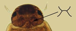 Robert Redford beetle