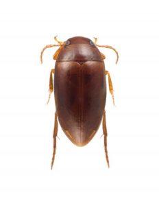 Stephen Colbert diving beetle
