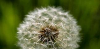 Dandelion Allergies