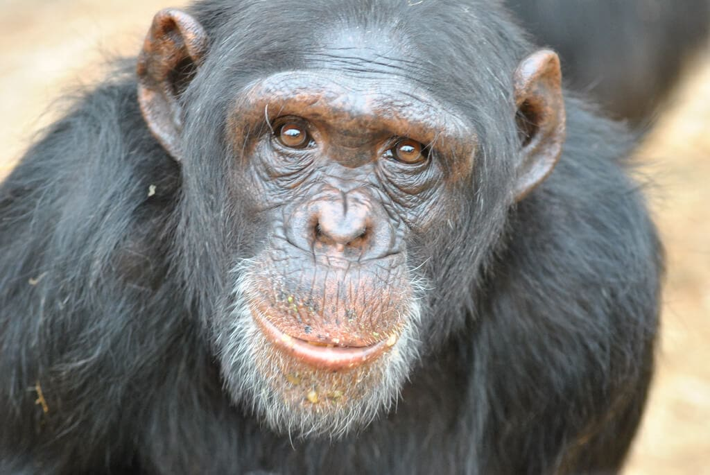 Chimps deserve bill to to ban their use as research subjects
