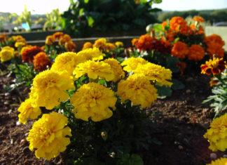 Marigolds and Companion Planting