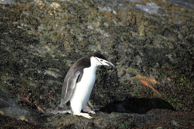 The Unexpected Decline of the Chinstrap Penguin Population