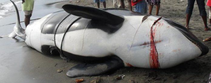 Dead Orca Whale