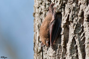 Little Brown Bat on Tree
