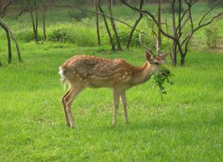 Deer Eating Garden