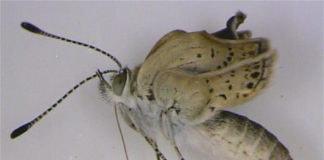 Fukushima nuclear butterfly