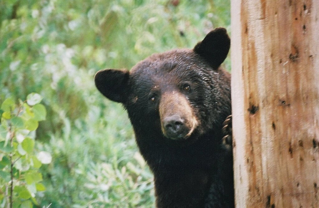 a research on the black bear American black bears (ursus americanus) historically inhabited every province   eastern workshop for black bear research and management 12:133–138.