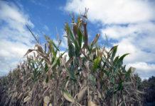 Ethanol corn