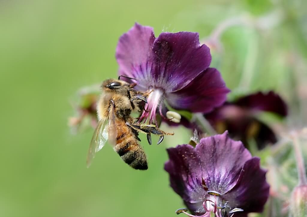 Honeybees and pesticides: British scientists say no connection