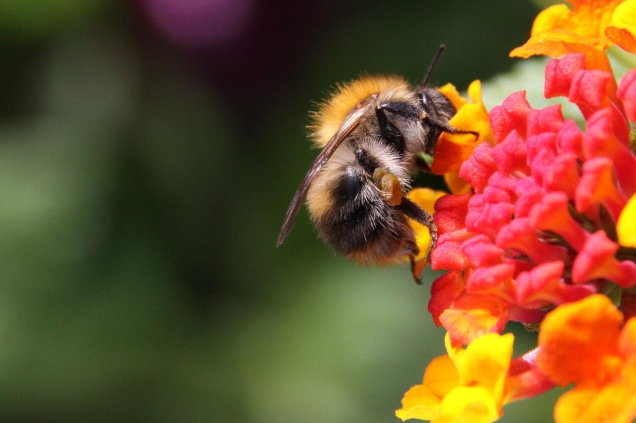 Pesticides Killing Bumblebees