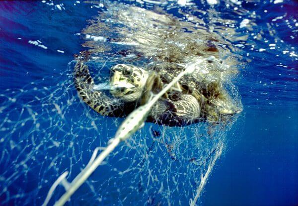 Turtle caught in gillnet