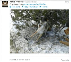 Coyote in trap