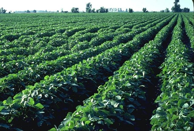 Brazil soybean field