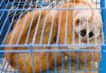 Slow loris - in illegal wildlife trade