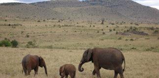 Kenyan elephants