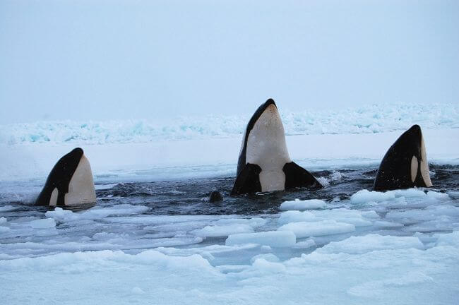 Trapped killer whales