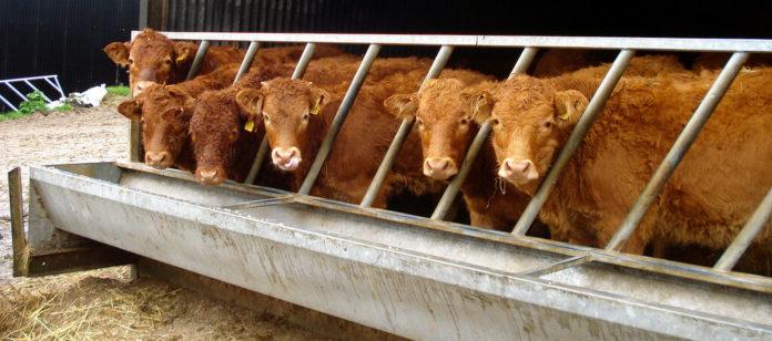 cow animal abuse