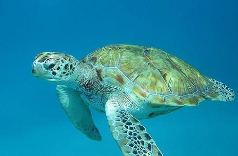 Barbados turtle