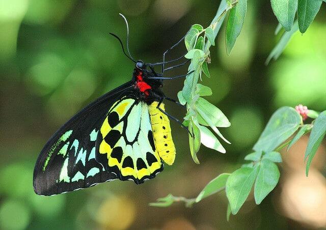 queen alexandrias birdwing