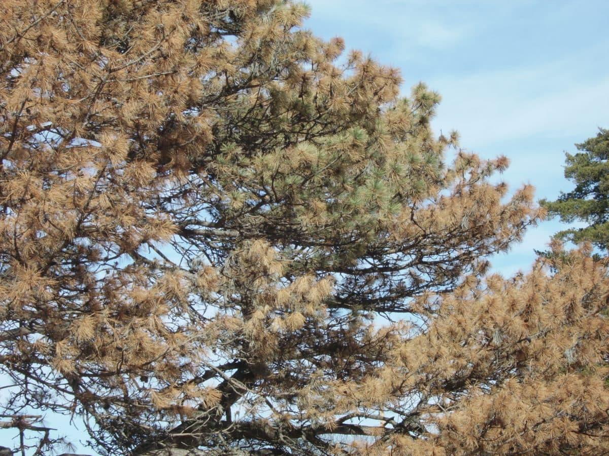 Austrian Pine with pine wilt