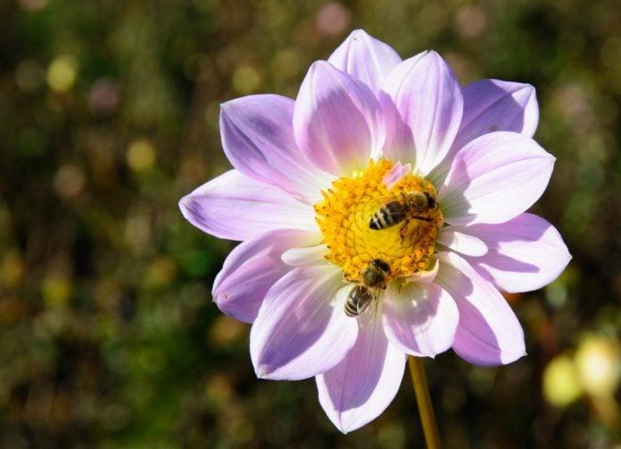 pestcides killing bees