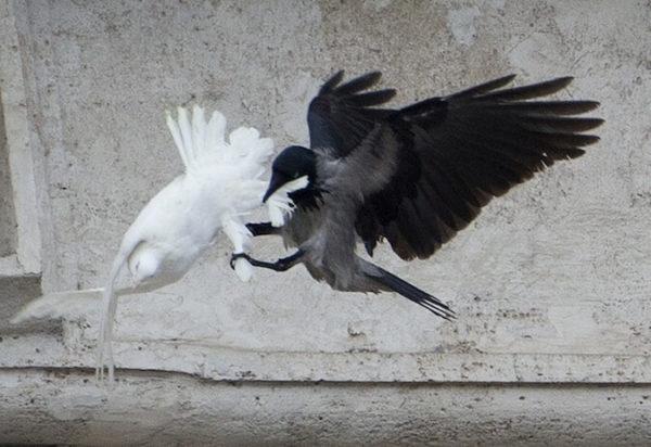 peace dove attack