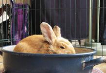 rabbit roast