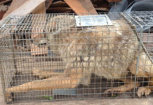 coyote in cage