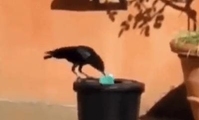crow garbage
