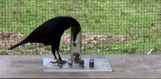 crow puzzles