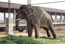 Sunder India Elephant Abuse
