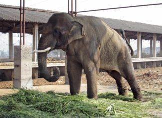 Sunder India Elephant Abuse