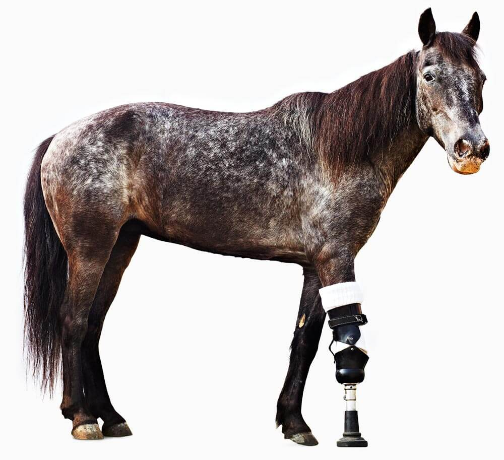 Molly the horse with a prosthetic leg