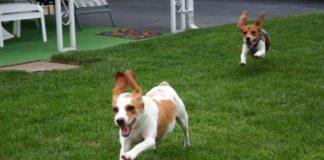 beagles running
