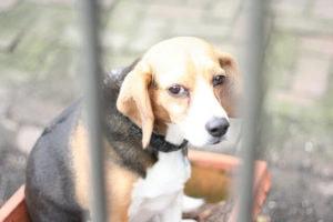 caged beagle