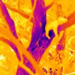 Thermal image of a koala spread across a tree branch