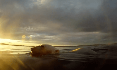 polar bears swimming