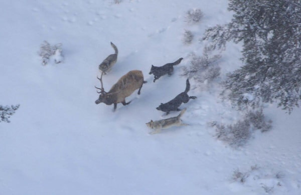 A pack of wolves hunting an Elk