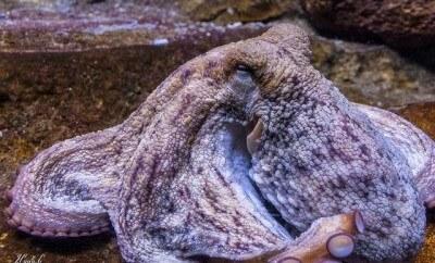 octopus-compressor