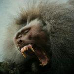 Aggressive male primate