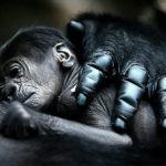 Mother gorilla hugs baby.