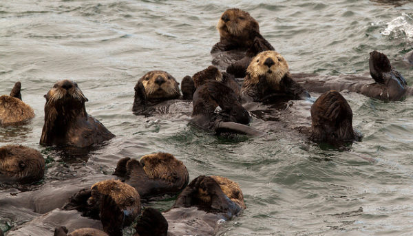 Sea otters forming a raft