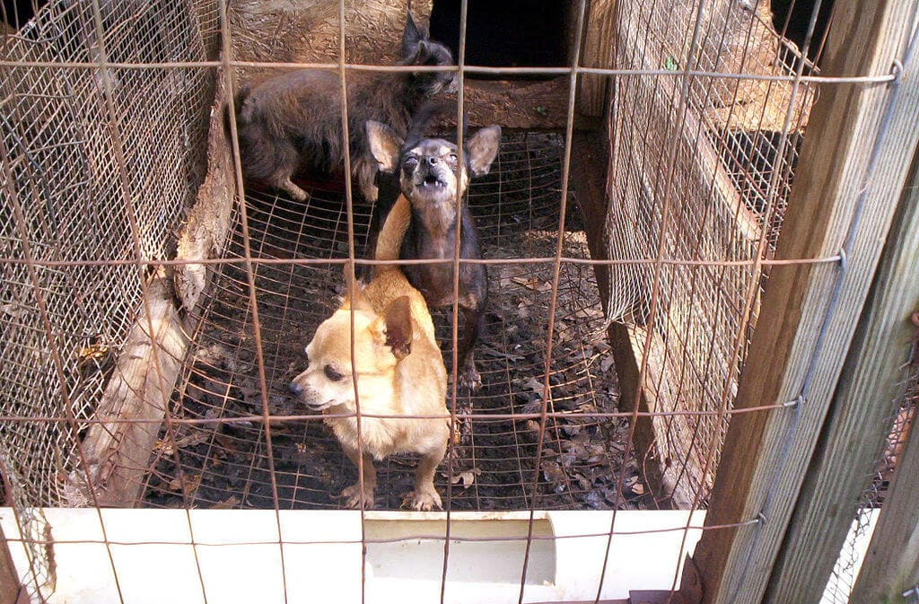 Puppies in a cage at a puppy mill