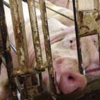 pig gestation crate