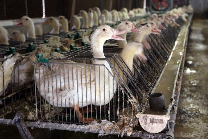 Foie Gras Duck Cages